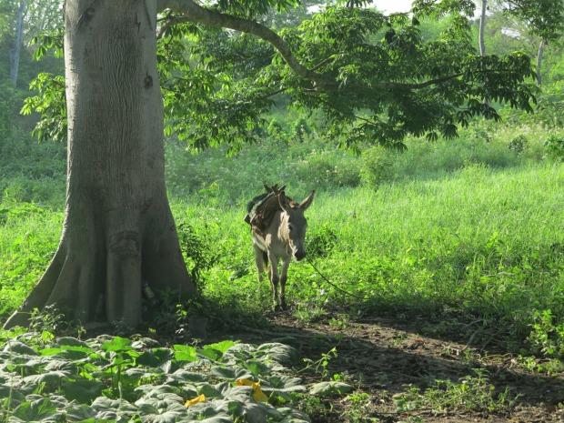 Les ânes sont les meilleurs moyens de transport, même en période de pluie, seulement ils ne peuvent pas passer par la barrière de l'entreprise ©Judith Bovard/2015