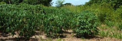 Les plantes de la yuca